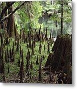 Cypress Stumps Metal Print