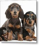 Dachshund And Merle Dachshund Pups Metal Print