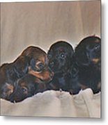 Dachshund Puppies Metal Print