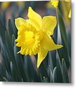 Daffodil Delight Metal Print