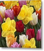 Daffodil Narcissus Sp Lucky Number Metal Print