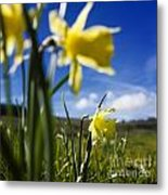 Daffodils In Cezallier. Auvergne. France. Europe Metal Print