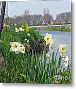 Daffodils In Holland 01 Metal Print