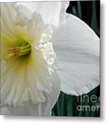 Daffy-down-dilly Metal Print