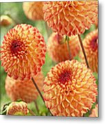 Dahlia Dahlia Sp Mirella Variety Flowers Metal Print