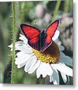 Daisy And Butterfly Metal Print