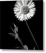 Daisy In Black And White Metal Print