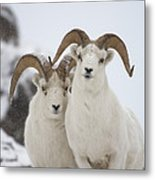 Dall Sheep Ovis Dalli Rams, Yukon Metal Print