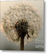 Dandelion In Backlight Metal Print
