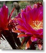 Dark Pink Cactus Flowers Metal Print