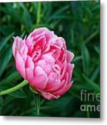 Dark Pink Peony Flower Series 2 Metal Print