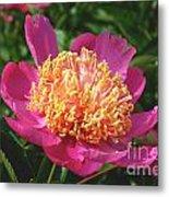 Dark Pink Peony Flower Series 3 Metal Print