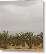 Date Palm Trees In An Orchard Metal Print