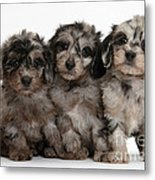 Daxiedoodle Poodle X Dachshund Puppies Metal Print