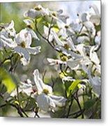 Dazzling Sunlit White Spring Dogwood Blossoms Metal Print