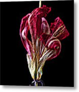 Dead Dried Tulip Metal Print