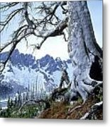 Dead Spruce In Old Forest Fire, Nabob Metal Print