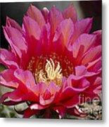 Deep Pink Cactus Flower Metal Print