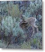 Deer Scratching Itch Metal Print