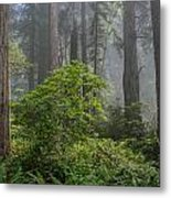 Del Norte Redwoods Metal Print