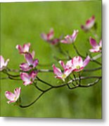 Delicate Pink Dogwood Blossoms Metal Print