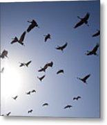 Demoiselle Cranes (anthropoides Virgo) Group Of Birds Flying, In Khichan, Rajasthan, India Metal Print