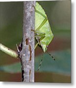 Descent Of A Green Stink Bug Metal Print