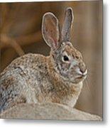 Desert Cottontail Rabbits Metal Print