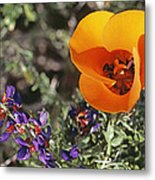 Desert Mariposa Tulip & Coulters Metal Print