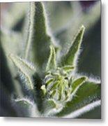 Desert Sunflower Geraea Canescens Bloom Metal Print