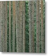 Detail Of Arrow-straight Evergreen Metal Print