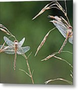 Dew Covered Dragonflies Metal Print