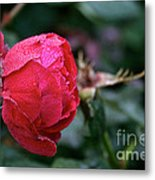 Dew Drenched Rose Metal Print