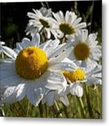 Dew Drops And Daisy Tops Metal Print