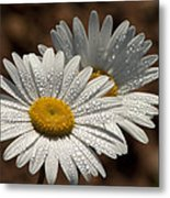 Dew Tell Oxeye Daisy Wildflowers Metal Print