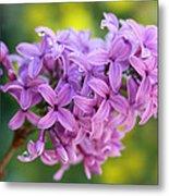 Dewdrops On Lilacs Metal Print