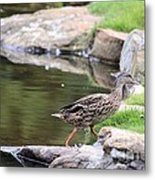 Diary Of A Mad Brown Duck Metal Print