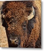 Dirty Nose Metal Print