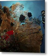 Diver And Sea Fan At Liberty Wreck Metal Print