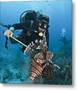 Diver Spears An Invasive Indo-pacific Metal Print