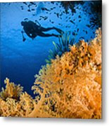 Diver Swimms Above Soft Coral, Fiji Metal Print