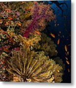 Diver Swims By Soft Corals And Crinoid Metal Print