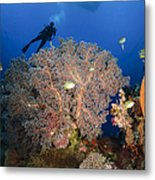 Diver Swims Over Sea Fans, Indonesia Metal Print
