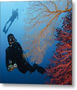 Divers Swimming By Sea Fans, Indonesia Metal Print