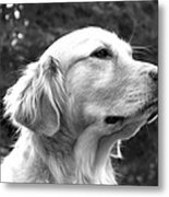 Dog Black And White Portrait Metal Print