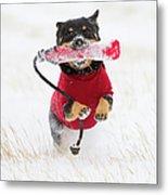 Dog Playing In Snow Metal Print by Paws on the Run Photography