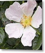 Dog Rose (rosa Canina) Metal Print by Adrian Bicker