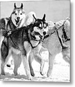 Dogs Leashed To A Chariot Metal Print