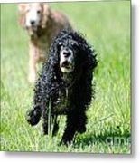 Dogs Running On The Green Field Metal Print
