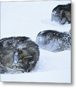Dogs Sleep In Blizzard On Frozen Ocean Metal Print by Gordon Wiltsie